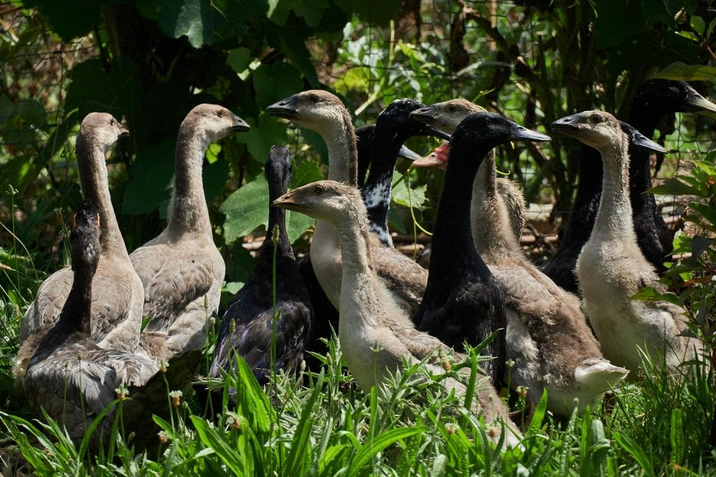 Geese in Grass Bred by Thorny Croft
