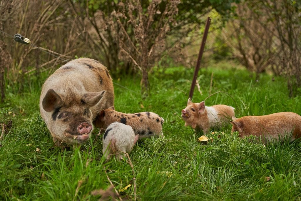 Kune Kune Pig with piglets Bred by Thorny Croft
